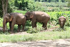 Éléphants adultes