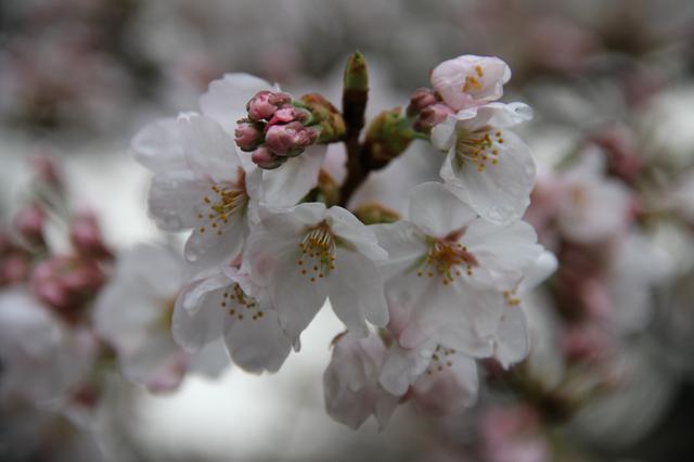 Sakura sous l'humidité