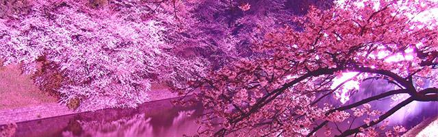 Sous les sakura du Japon