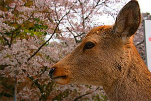 Daim à Nara