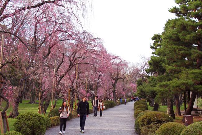 Allée de sakura au Nijo-jo