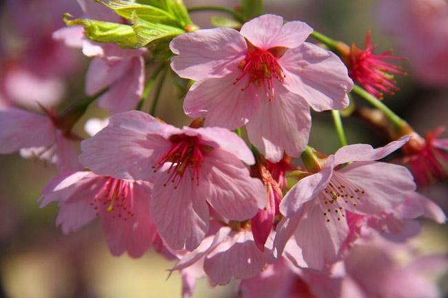 Fleurs et pétales de cerisiers japonais vus en gros plan