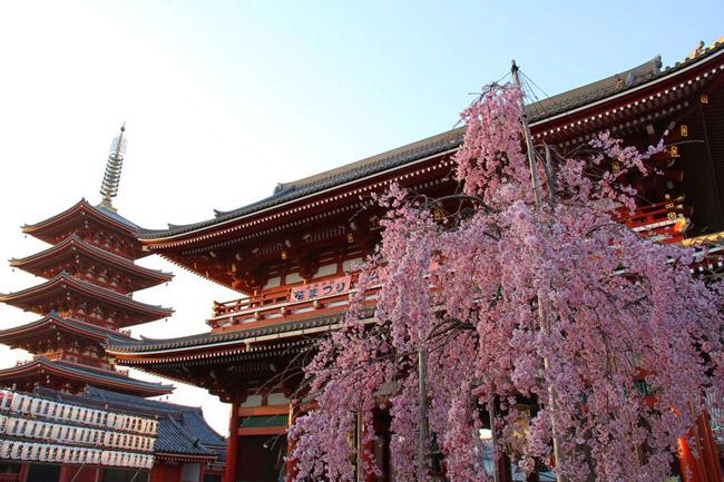 Magnifique cerisier au Senso-ji