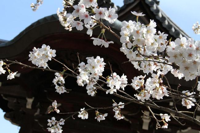 Temple et cerisiers