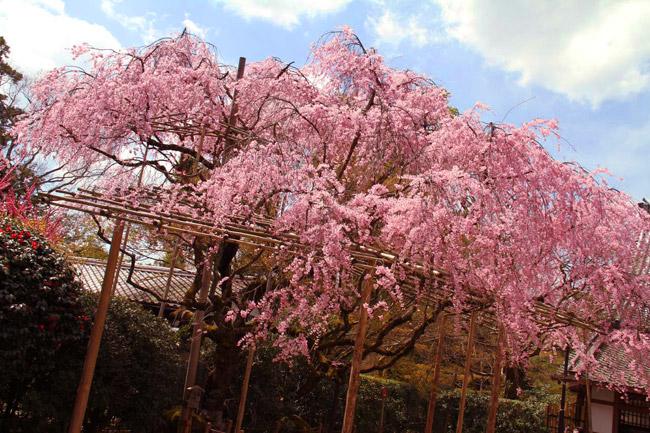 Sakura au Ryoanji